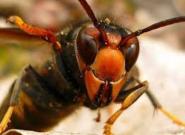 El Ayuntamiento de Legarda coloca trampas contra la avispa asiática